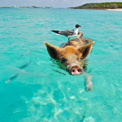 Beach Thursday Pic of the Week – Pigs and Birds, and Boats, Oh My!